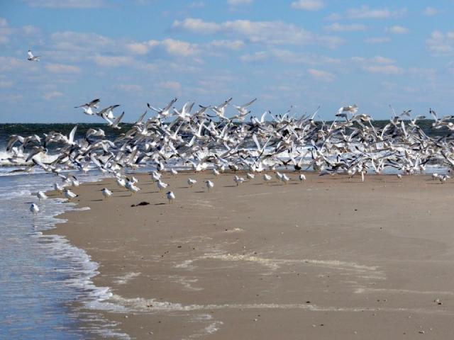 Cotillion of terns (Photo by Tom Earnhardt)
