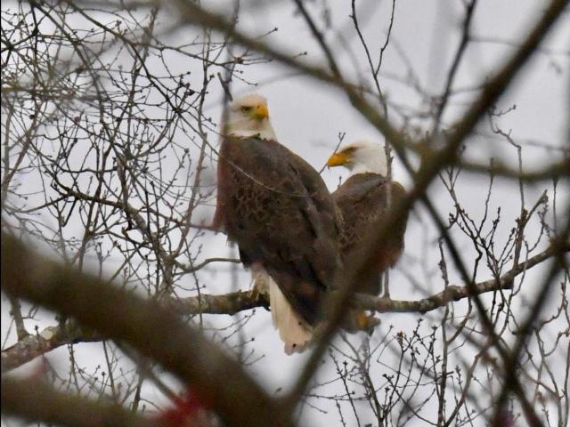 Convocation of eagles (Photo by Tom Earnhardt)