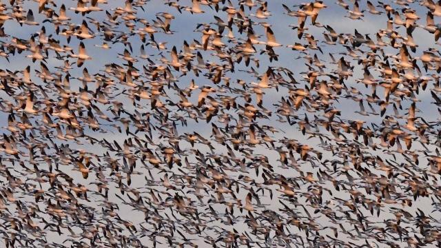 EARNHARDT-11 Geese