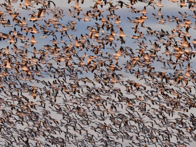 Gaggle of geese (Photo by Tom Earnhardt)
