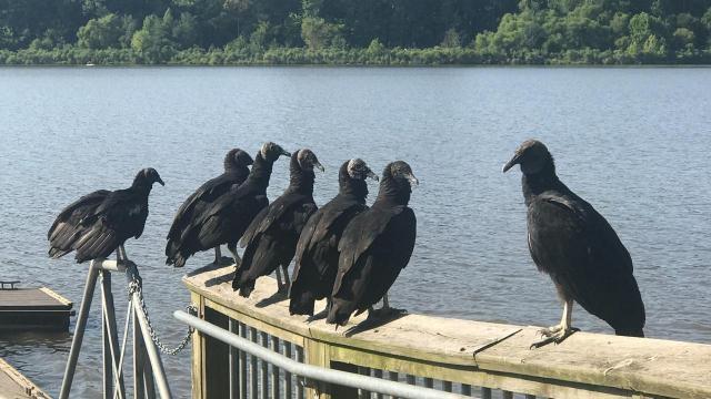 EARNHARDT-10 Black vultures