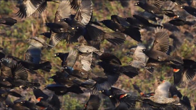 EARNHARDT-12 blackbirds