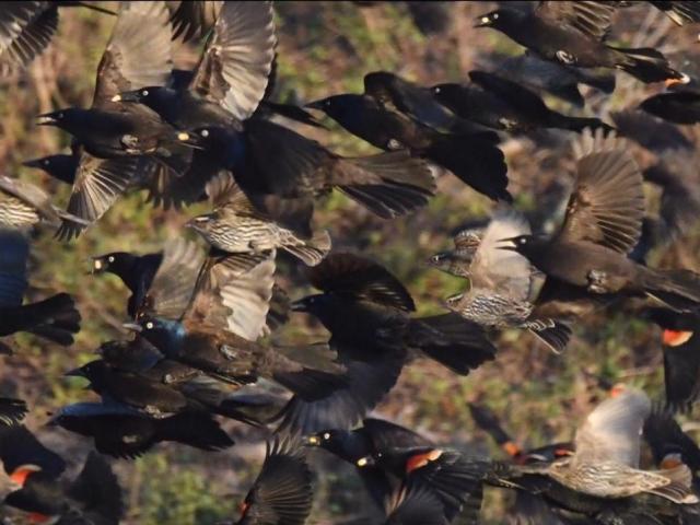 Murmuration of blackbirds (Photo by Tom Earnhardt