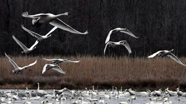 Tundra swans (Photo by Tom Earnhardt)