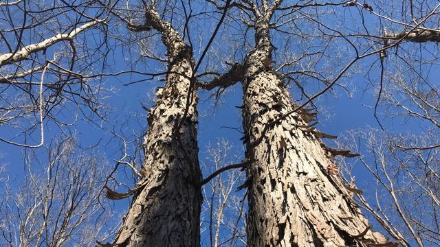 EARNHARDT-6 Shag bark hickory