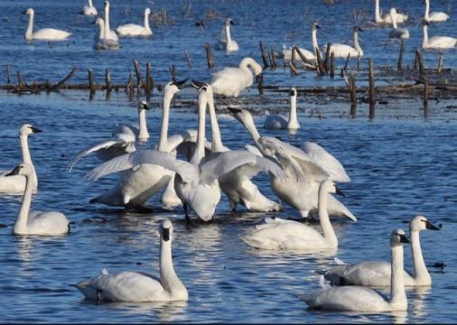 EARNHARDT-11 Tundra Swans