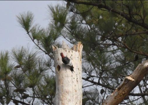 EARNHARDT-10 Woodpecker