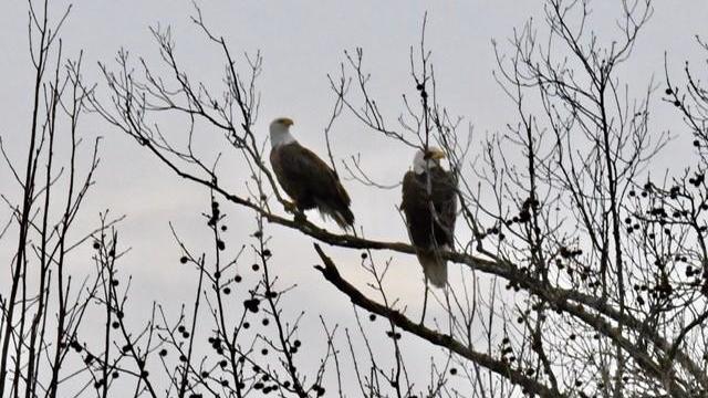 Bald Eagles, Harris Lake (Photo by Tom Earnhardt)