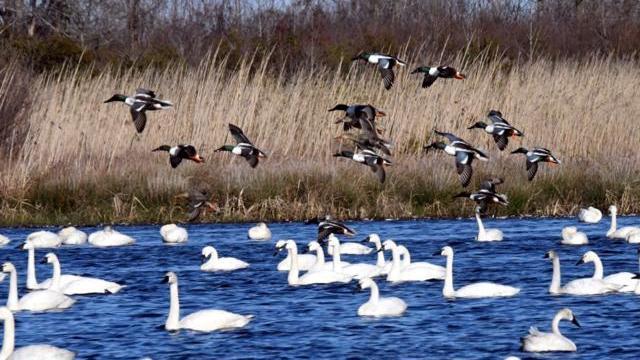 EARNHARDT-3 Ducks and Swans