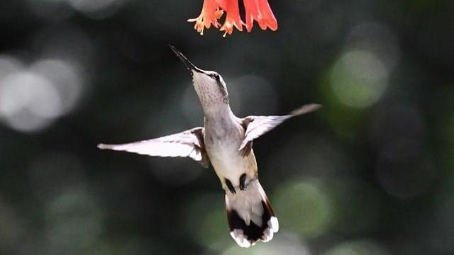 EARNHARDT-4 Hummingbird