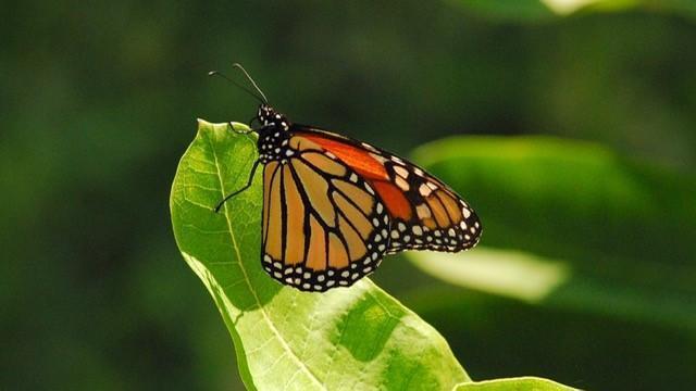 EARNHARDT-5 Monarch butterfly