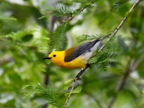 EARNHARDT-1 warbler