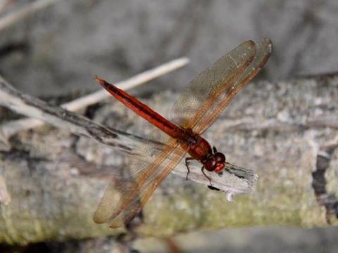 EARNHARDT-4 Dragonfly