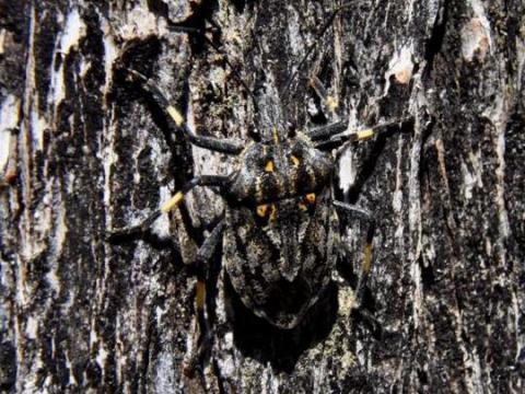 EARNHARDT-5 stink bug