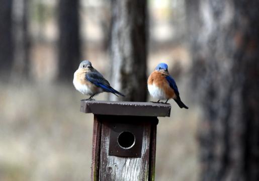 EARNHARDT-7 Bluebirds