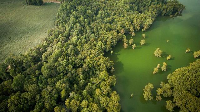 The blue-green water at Bennet's Millpond in Chowan County, shown here from above, is evidence of a recent algal bloom. (Photo: Jared Lloyd)