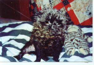 she was  my baby, she was so sweet and loving,, and part of the  family, went everywhere we went,, we had her for 14 years, then she died in her sleep, she had cancer, i loved her so much, i held her for 3 hours wrapped up in a sheet when she died, and rocked her, before i could barrey her, i miss her  so much,,  it has been 2 years now,, and we still miss  her  so  much,,  she was  so tiny,, she loved everybody, she also would sleep with us,, 