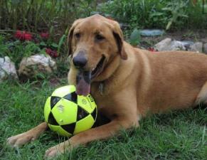 Tripp loved his soccer balls! A true retriever!