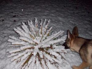 Coats NC....Buddy our 4 month old German Shephard checking out the snow.