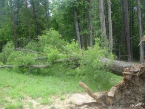 A storm uprooted a large oak tree in Johnston County on Sunday.