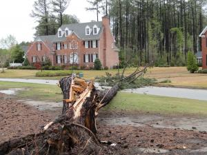 This is a large pine tree that downed by this mornings storm. It fell between two homes in the Eagle Farm subdivision in Wilson