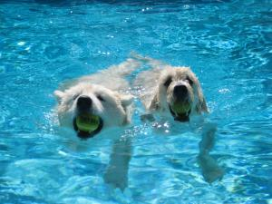 This photos was taken by Len Hill of Raleigh. The photo shows two growing puppies, Tanner and Barkley, having a blast in the family swimming pool. Tanner and Barkley are best friends and are enjoying growing up together. Tanner (left) is a Samoyed and belongs to Len and Sherry Hill. Barkley (right) is a Goldendoodle and belongs to Sherry's daughter, Laurie Bauchman, and her husband Mark de la Salle. Both puppies have just recently learned to swim and to play ball in the water. Now they think it's a great way to beat the summer heat.