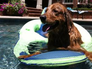 Reagan the 3 year old Golden Retriever took a plunge in the pool today to beat the heat in Cary, North Carolina