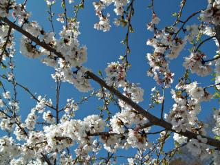 4/6/13 Cherry Blossoms