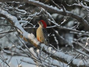 RED Bellied Wood Pecker in the snow morning of 1/22/14
