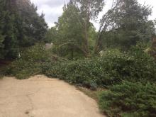 High winds bring down Bradford pear today.  Thanks Hurricane Arthur, just what I wanted to work on for my birthday!