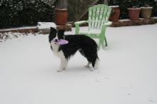 Border Collie and Frisbee mixed with Snow