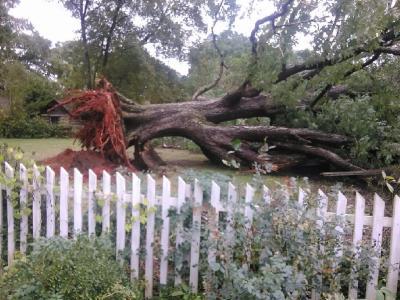 200 year old oak tree down