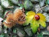 Chestnut photo Lake Como, Italy