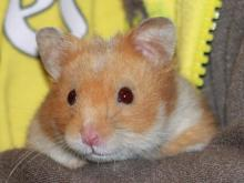 Milku the Hamster