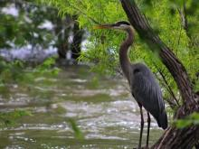 Blue Heron at Falls Lake Dam
