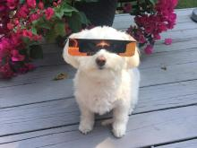 8/21/17 Solar Eclipse - dog photo with glasses