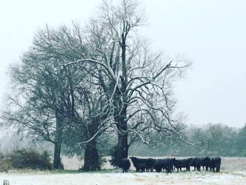 Cows in the Snow in Saxapahaw!