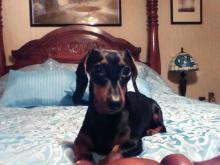 Zoey, miniature dachshund