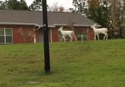 IMAGES: Two rare albino deer spotted together in Wake Forest