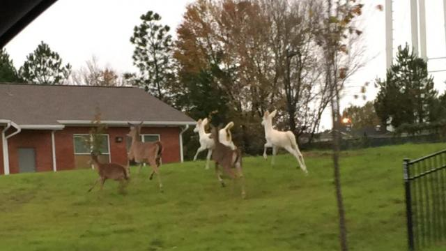 My husband took these as he was leaving the Wake Forest post office. Not one, but two albino deer! How exciting!