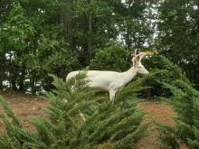 White deer spotted in our backyard in Raleigh