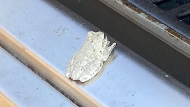 Took cover off grill. Found this white tree frog. Never saw a full white one ?