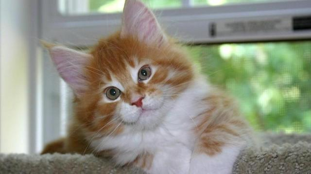 Photo by: Diana Fox. Ella, a Maine Coon kitten at 9 weeks old.