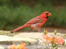 Duke Gardens Cardinal