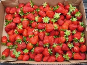 Photo by: C. Willis. Strawberries from Hunt's farm, Wake County