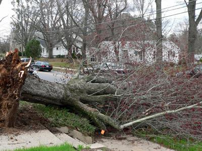 High winds caused this tree on South Main Street in Wake Forest to fall Saturday. (Photo Courtesy of Shannon Settles)