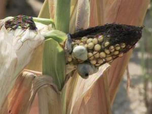 Record-high temperatures and widespread drought have plagued North Carolina throughout June and July, hitting the state's staple crops hard. Corn crops, in particular, are suffering under a nationwide heat wave.
