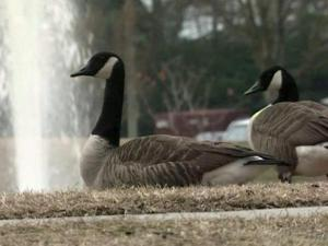 Geese enjoyed the early sunshine Friday in Fayetteville.