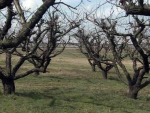 Peach trees need about 750 so-called chilling hours, when the temperature is between about 30 and 45 degrees before they can sprout blossoms, according to agriculture experts.