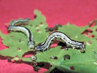 Fall Cankerworms are abundant this spring, but they should retreat underground in the next few weeks.